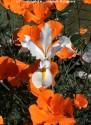 @ Almofate - Flowers in White and Orange _ Flores em Branco e Laranja
