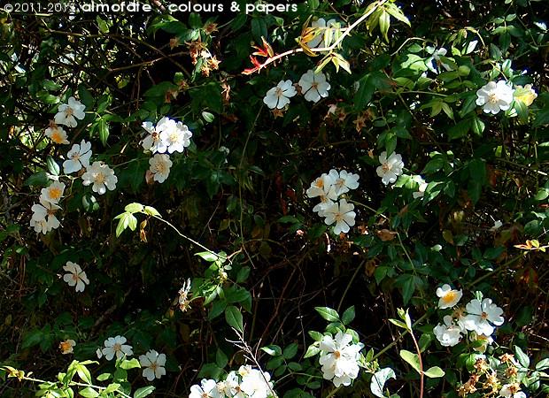 @ Almofate - Wild roses _ Roseira silvestre