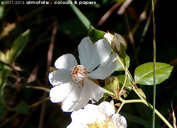 @ Almofate - Wild rose _ Rosa silvestre