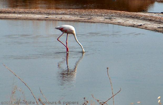 @ Almofate - Flamingo and Reflections _ Tavira _ Flamingo e Reflexos