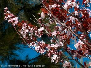 @ Almofate - Purple-leaf cherry plum _ Ameixeira-de-jardim vermelha