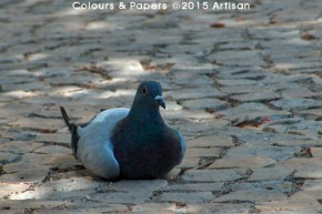 Colours & Papers - Peaceful pigeon